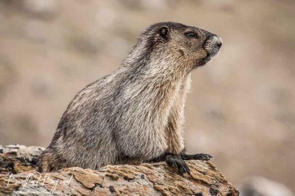 close up of hoary marmot in jasper