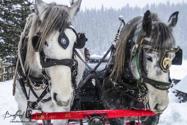 close up of horses pulling sleigh in lake louise