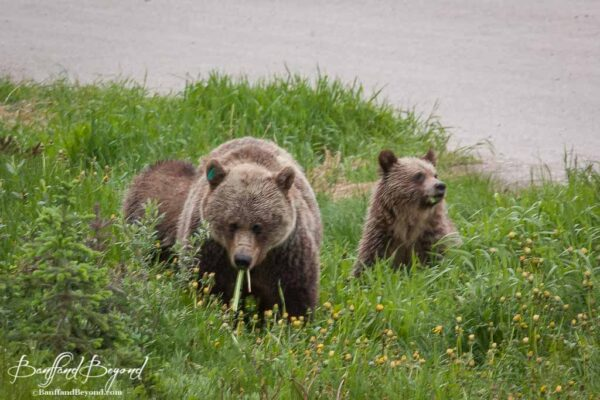 mother-grizzly-bear-female-cubs-lake-louise-spring-season-dandelions-wildlife-green-grass