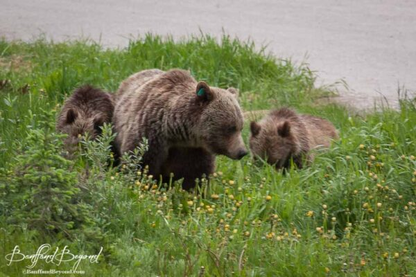 female-grizzly-bear-cubs-lake-louise-wildlife-viewing-animals-banff-national-park