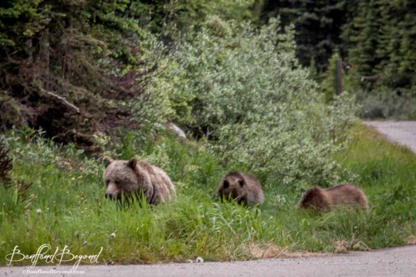 grizzly-bears-lake-louise-road-wildlife-viewing-tourist-attraction