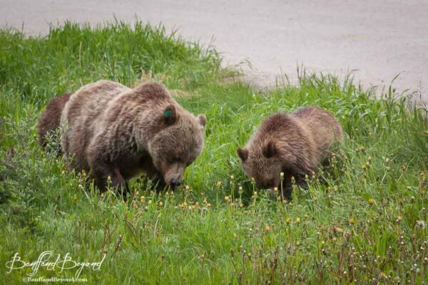 mother-grizzly-bear-cubs-feeding-dandelions-spring-time-season-lake-louise