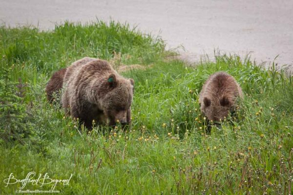 grizzly-bears-cubs-lake-louise-feeding-dandelions-wildlife-banff-national-park