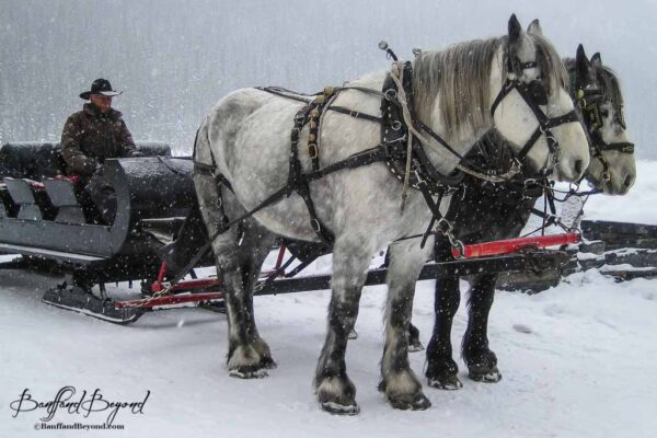 horse drawn sleigh close up in lake louise