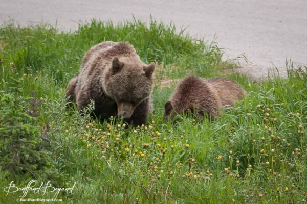 lake-louise-grizzly-bears-cubs-baby-animals-banff-national-park-large-wildlife
