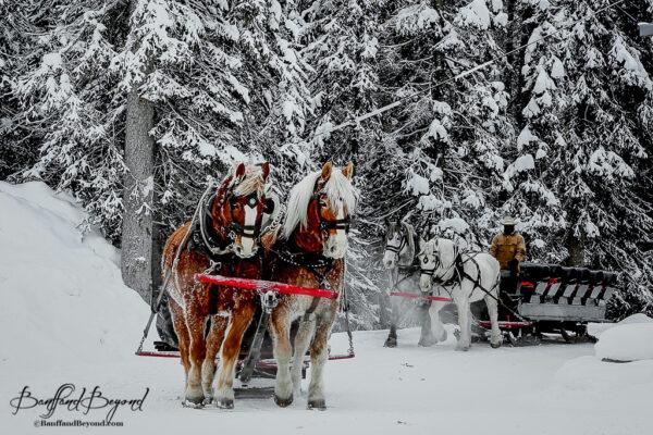 lake louise traditional horse drawn sleigh