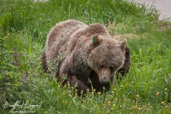 large female grizzly in lake louise in spring