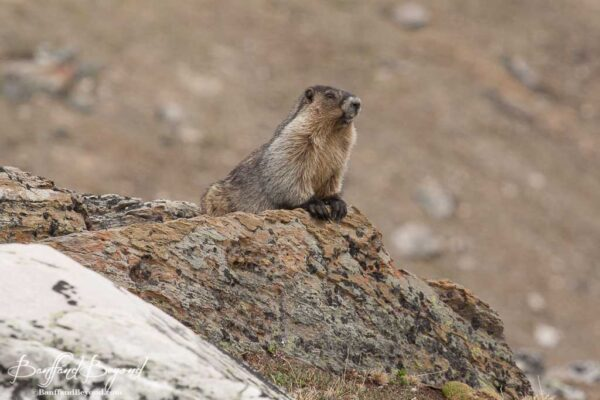 marmot sitting on the rocks on whistlers summit trail