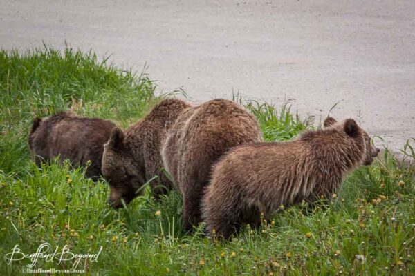 mother grizzly bear and cubs eating dandelions