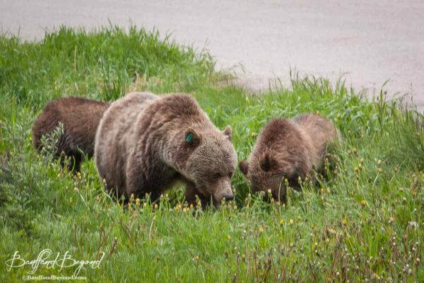 mother grizzly bear and cubs in lake louise grass