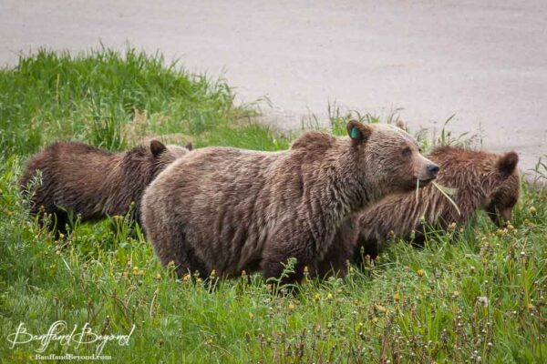 mother grizzly bear chewing on dandelions with cubs