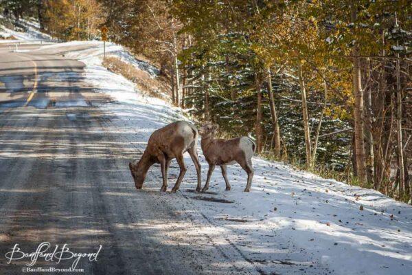 bighorn-sheep-road-feeding-wildlfe-banff-rocky-mountain-canada-scenery ...