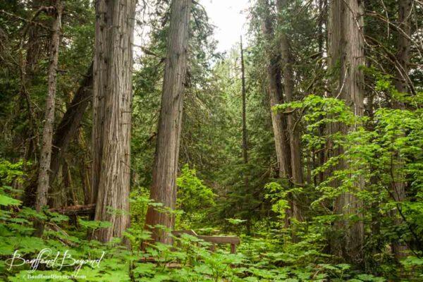 beautiful trees in giant cedars boardwalk trail in revelstoke