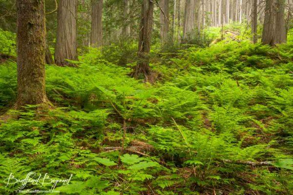 fern plants on the giant cedars boardwalk trail in revelstoke