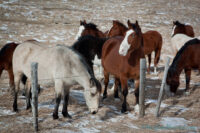 horses along bow valley trail in alberta (1)