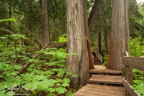 wooden-boardwalk-giant-cedars-trail-revelstoke-national-park-trail-short-walk
