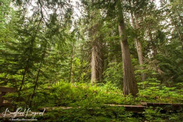wooden boardwalk on giant cedars trail in revelstoke
