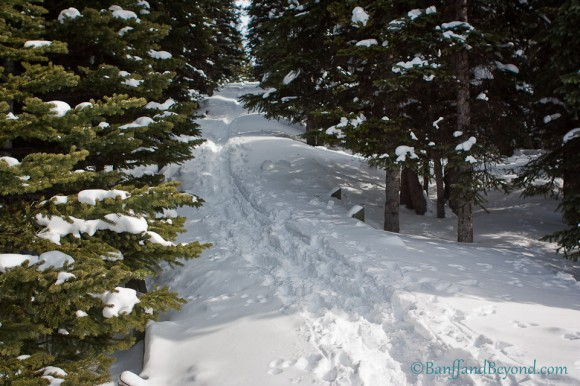 trail-through-snow-alpine-forest-path-leading-to-peyto-lake-lookout-viewing-platform-bow-summit-tourist-attraction-banff-national-park-icefields-parkway