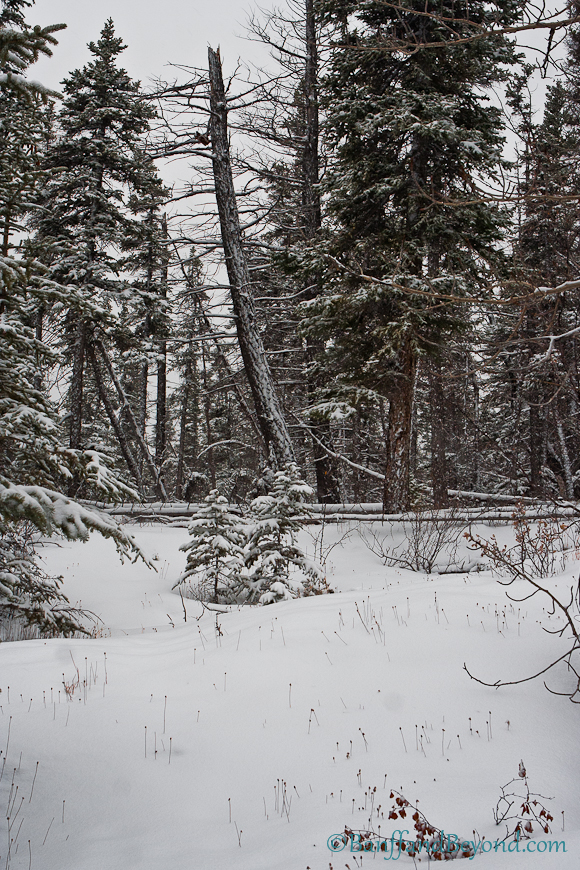 snow-covered-ground-spruce-pine-trees-winter-forest-grotto-canyon-canmore-alberta-hiking-outdoor-trails