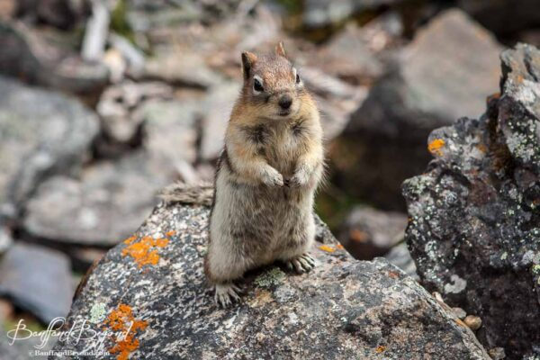 golden mantled ground squirrel in lake louise
