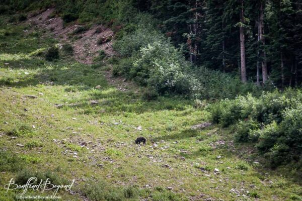 grizzly bear feeding on the grassy slopes along lake louise