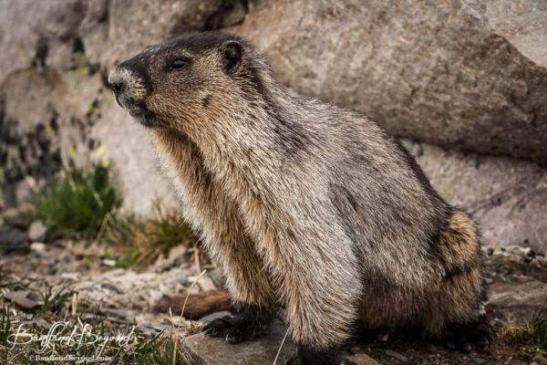 hoary marmot on the plain of six glaciers trail