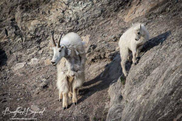 mountain goats along the plain of six glaciers trail