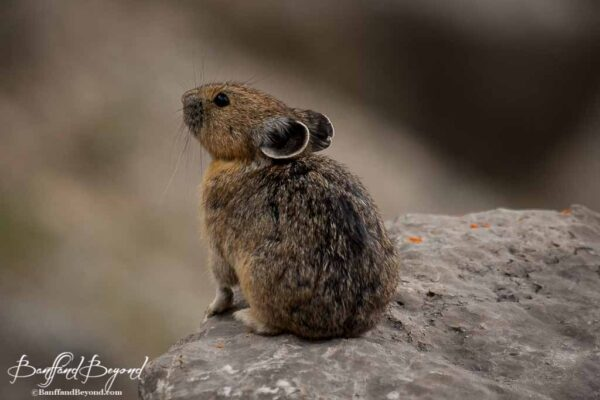 pika on the plain of six glaciers trail