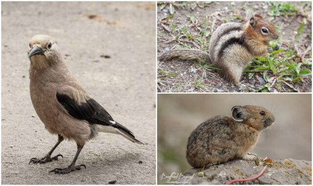 clark's-nutcracker golden-mantled-ground-squirrel-pika