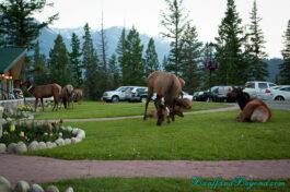 elk-herd-group-jasper-park-lodge-feeding-grass-grazing-wild-life-animals-nature-trees-accommodation