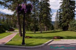 elk-trees-grass-fairmont-jasper-park-lodge-ungulates-hoofed-wild-life-animals