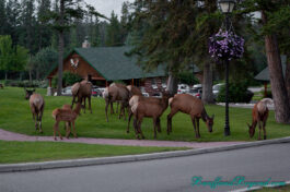 Hanging Out With The Elk At Jasper Park Lodge