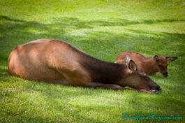 mother-elk-calf-baby-laying-grass-jasper-park-lodge-accommodation-wild-life-tourist-attraction