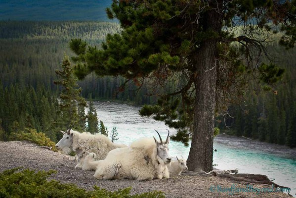 kerkeslin-goat-lick-lookout-trail-wild-life-viewing-columbia-icefields-parkway