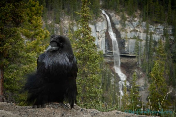 A raven sitting with bridal veil falls in the background on the columbia icefields parkway