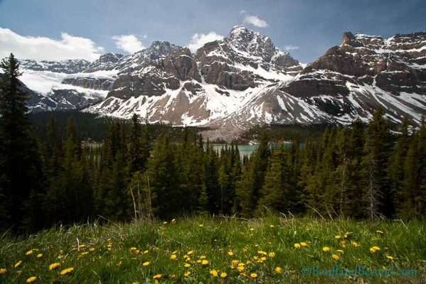 hector-lake-yellow-dandelion-flowers-mountains-snow-glaciers-spring-time