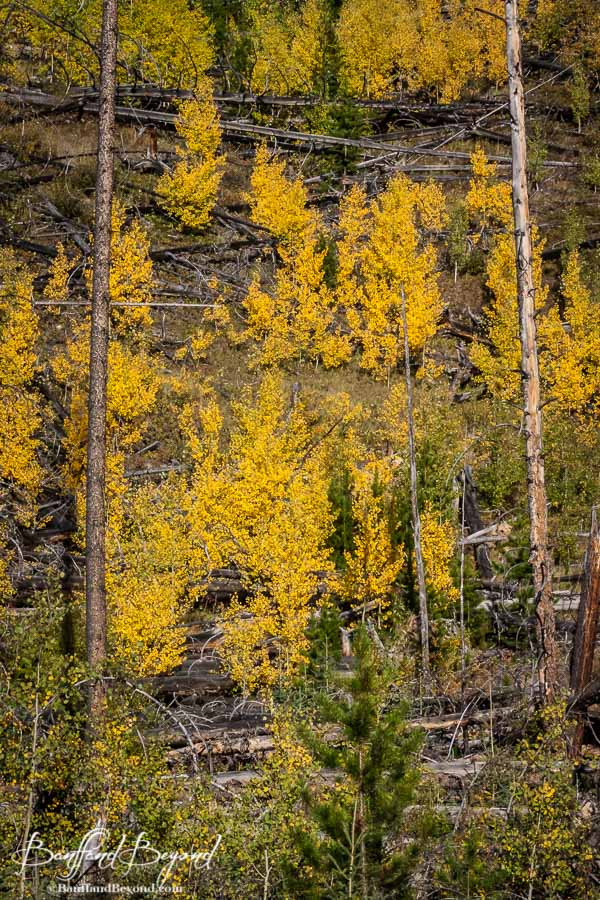 bright yellow coloured trees during the fall season in banff