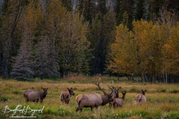 male bull elk and harem during rutting season in banff national park