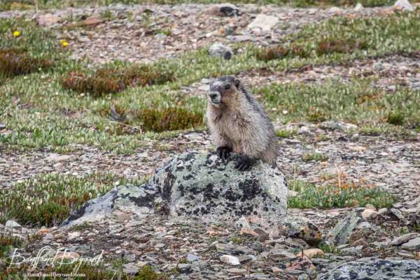 marmot sitting up on a rock in jasper national park