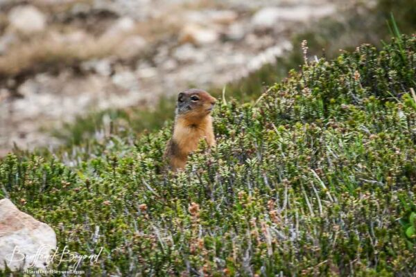 squirrel in a meadow along the path of the glacier loop trai