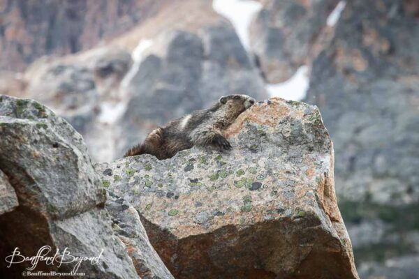 marmot resting on a rock along the cavell meadows trail