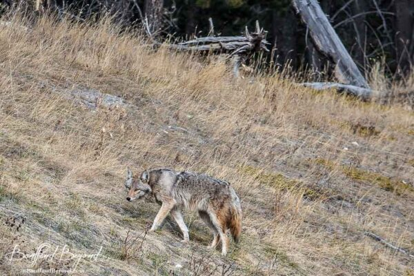 coyoto in long grass in the canadian rocky mountains