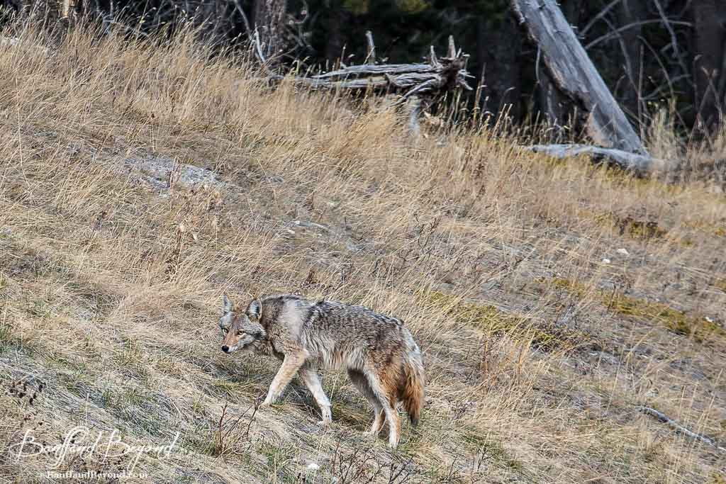 Banff & Rocky Mountain Wildlife Viewing Tips   BanffandBeyond
