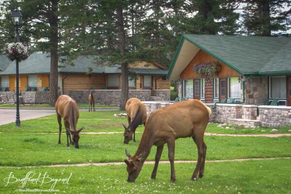 elk grazing on the ground of the jasper park lodge