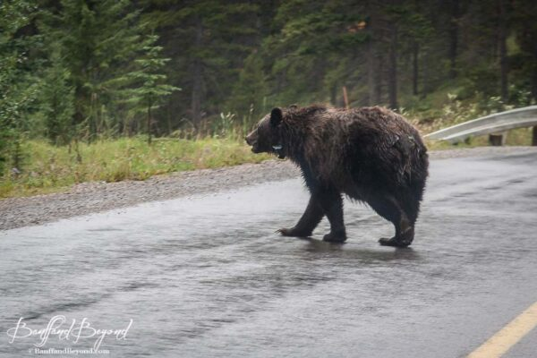 grizzly bear walking across the road in banff national park