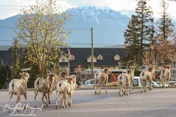 herd of bighorn sheep crossing the street in radium hot springs