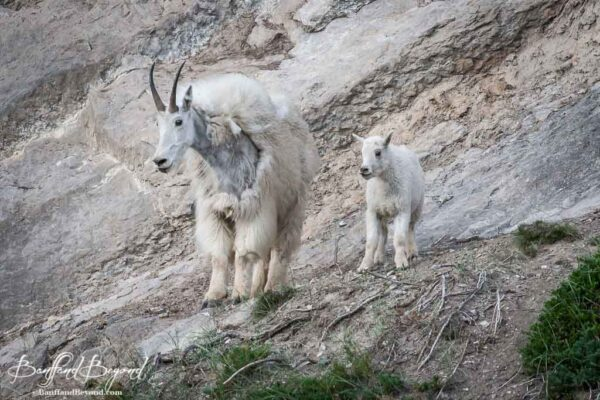 mother and baby mountain goat in the canadian rockies