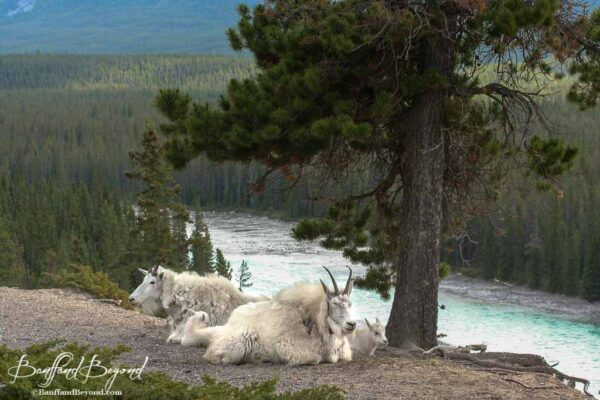 mountain goats above the athabasca river in the canadian rockies