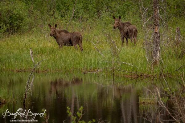 two young moose in jasper national park