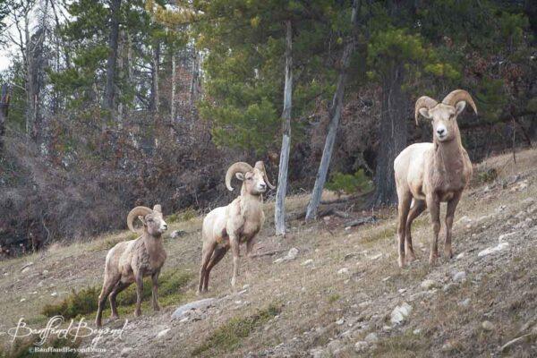 Bighorn-sheep-along-Lake-Minnewanka-Loop-Drive
